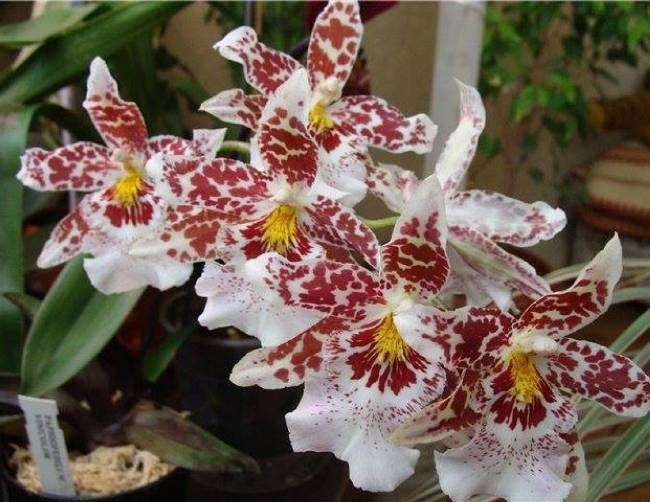 Камбрия (57 фото): виды и сорта с названиями, размножение и уход за орхидей в домашних условиях, пересадка цветка