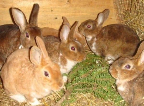 Сколько растет кролик до забоя | ваши поделки.ру