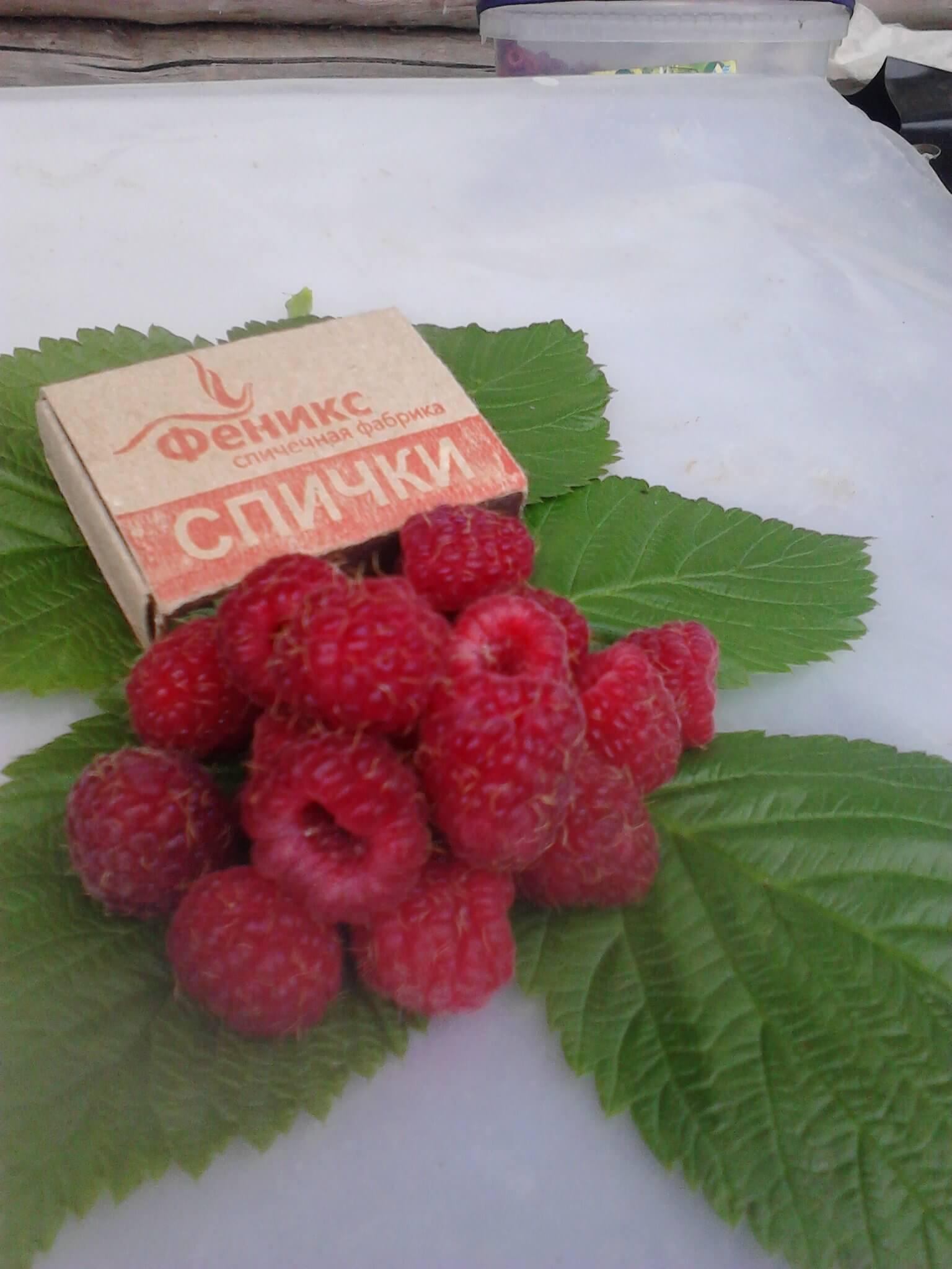 Как посадить и вырастить малину сорта «бальзам»