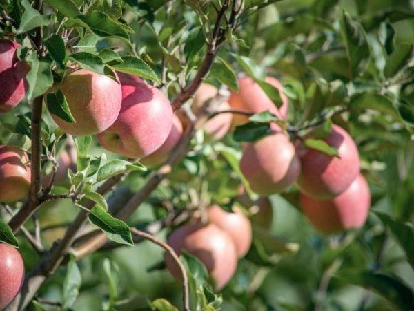 ✅ яблоня сорта сахарный аркад: ботаническое описание и основные отличия, оптимальные условия для выращивания, фото - tehnoyug.com