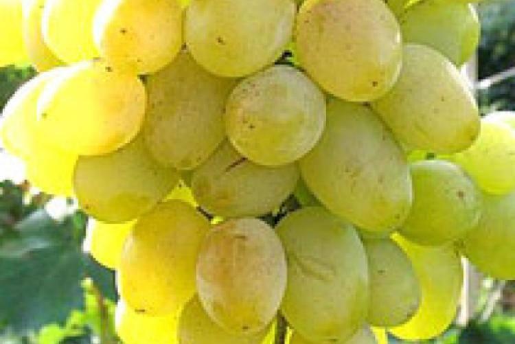 Самый вкусный кишмиш: 5 лучших сортов винограда без косточек