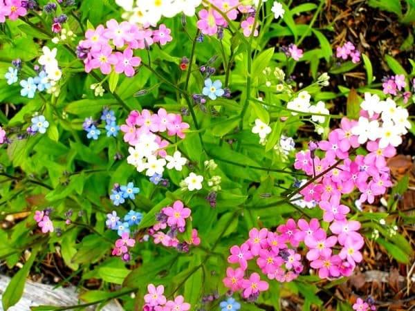 Незабудки — цветы для души