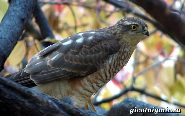 Ястреб-перепелятник: фото и описание птицы