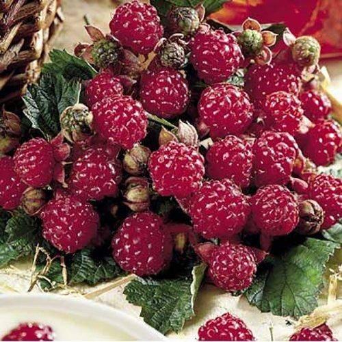 Описания сорта малины «Херитейдж», а также отзывы садоводов