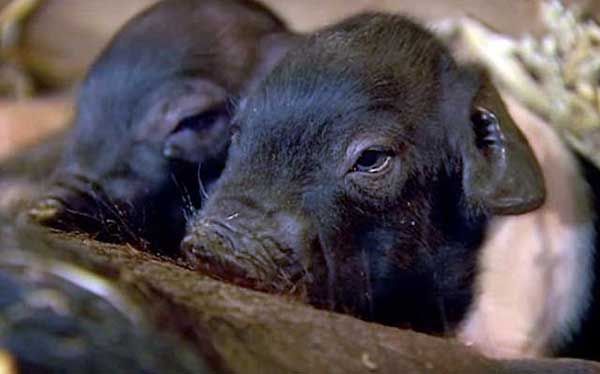 Сколько живут свиньи и от чего зависит продолжительность их жизни