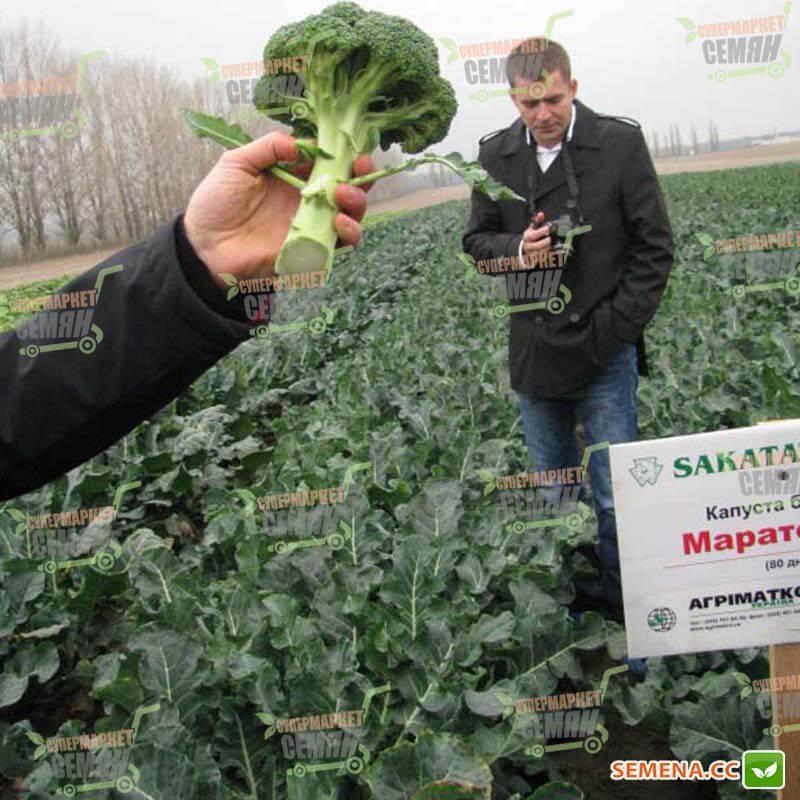 Сорта капусты брокколи зеленой: названия и описания лучших видов с фото - фиесты f1, это хороший ранний гибрид, фортуны, маратона, лаки, тонуса и других русский фермер