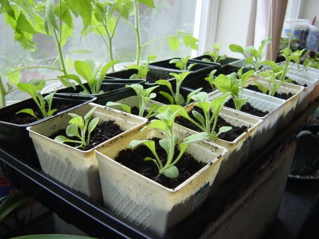 Как вырастить рассаду петунии из семян в домашних условиях: правила ухода и выращивания