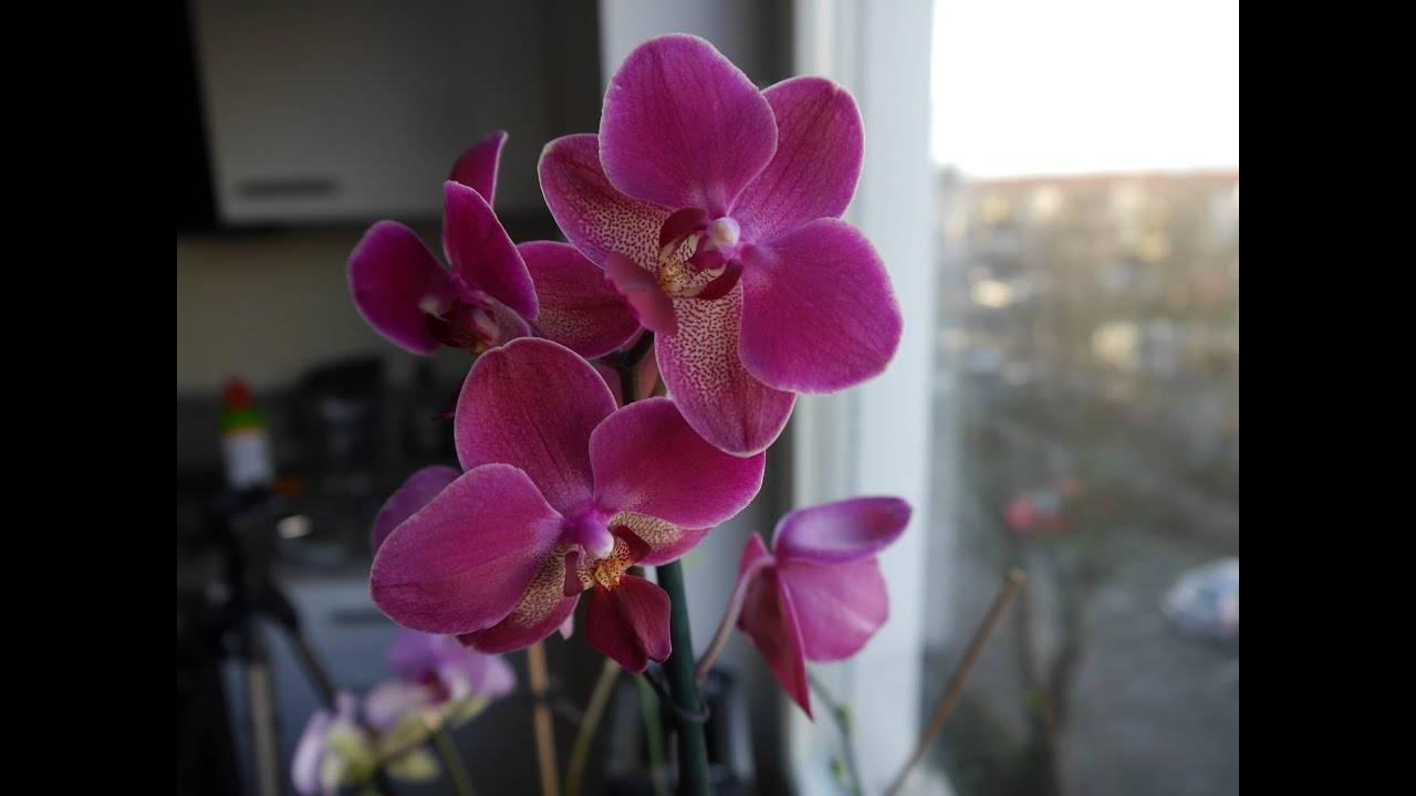 Наиболее популярные сорта и виды фаленопсисов. описание и фото растений