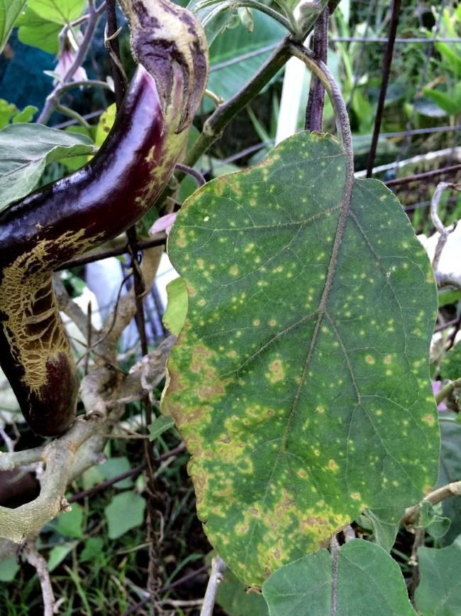 Почему желтеют листья у баклажан и что делать