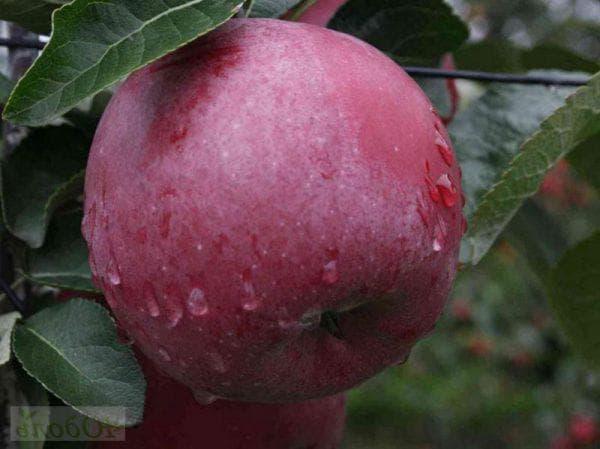 Яблоня спартан: описание сорта, посадка и уход