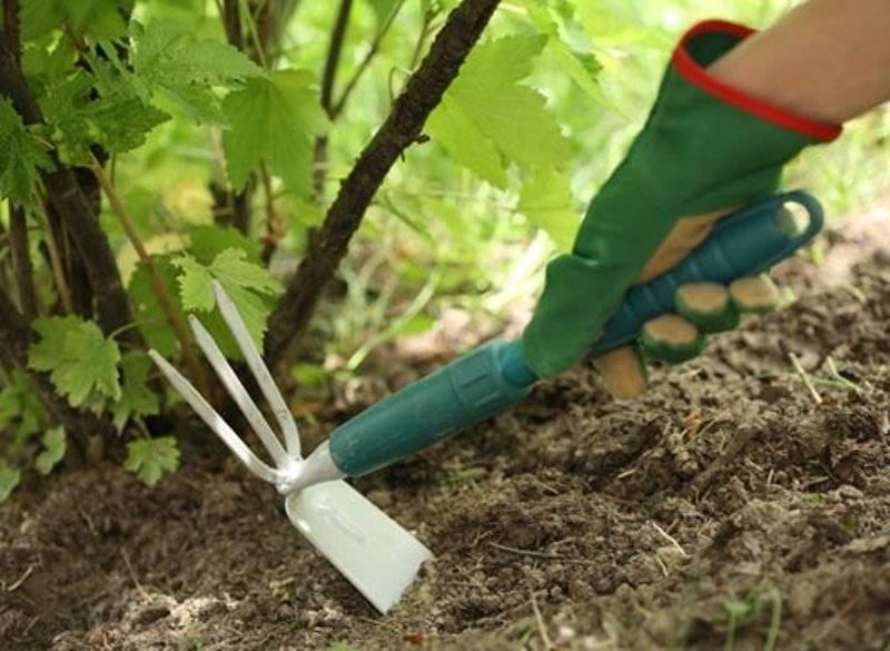 Виноград рута: описание сорта, фото и отзывы садоводов