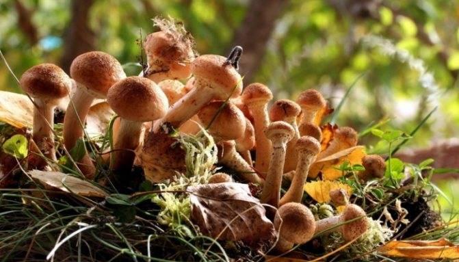 Осенние и зимние опята: когда начинается и когда заканчивается сезон сбора грибов