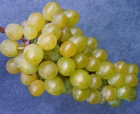 Московский устойчивый — виноград