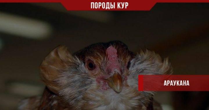Куры породы амераукана (23 фото): описание породы, особенности ухода за курами, петухами и цыплятами. как определить пол цыпленка? отзывы