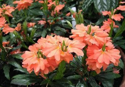 Фейерверк цветов родом из шри ланки – уход за кроссандрой в домашних условиях