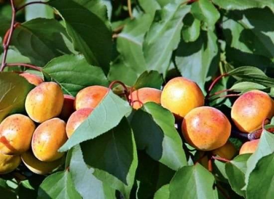 Топ-18 сортов абрикос для идеальной кураги