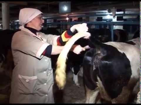 Искусственное осеменение коровв домашних условиях: инструкция