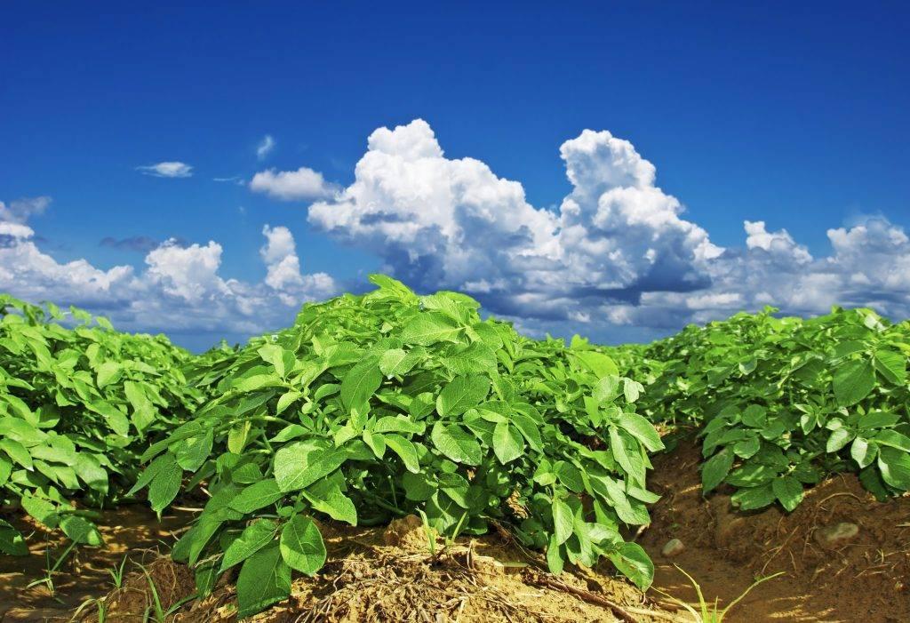 Голландская технология выращивания картофеля: метод посадки, оборудование