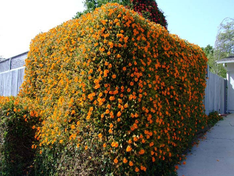 Тунбергия: выращивание и уход, фото цветка и посадка семян selo.guru — интернет портал о сельском хозяйстве
