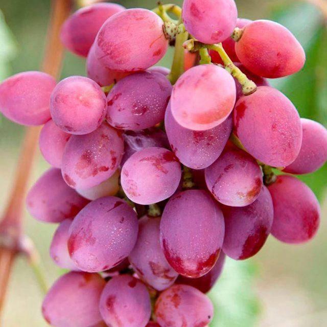 Виноград рута: описание сорта и фото, характеристики, история происхождения, особенности выращивания selo.guru — интернет портал о сельском хозяйстве