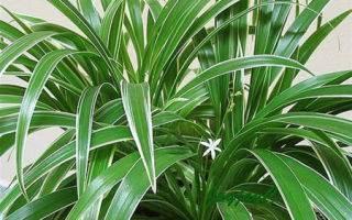 Хлорофитум уход в домашних условиях, фото растения