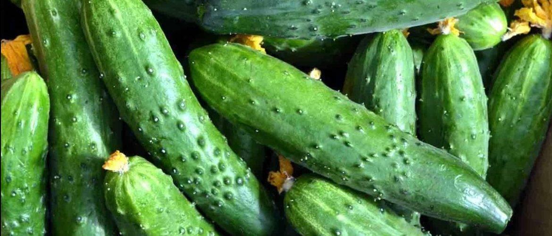 Сорт огурцов эстафета | огородовед