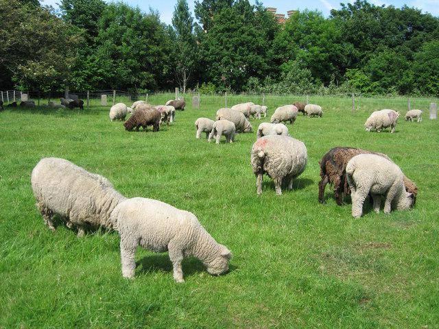 Овцеводство: прибыльный бизнес для начинающего фермера
