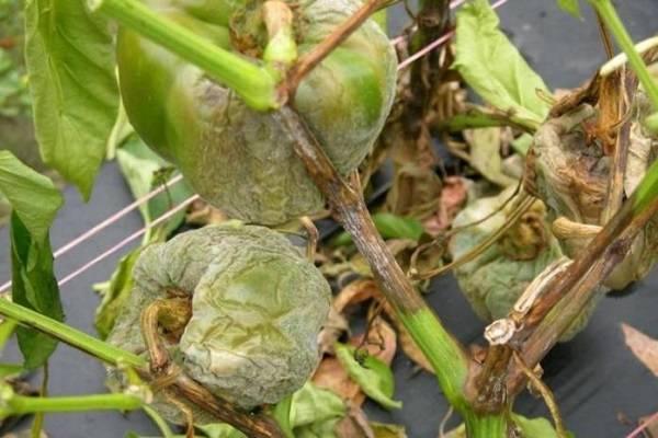 Почему на листьях перца появляются пупырышки: как лечить, профилактика