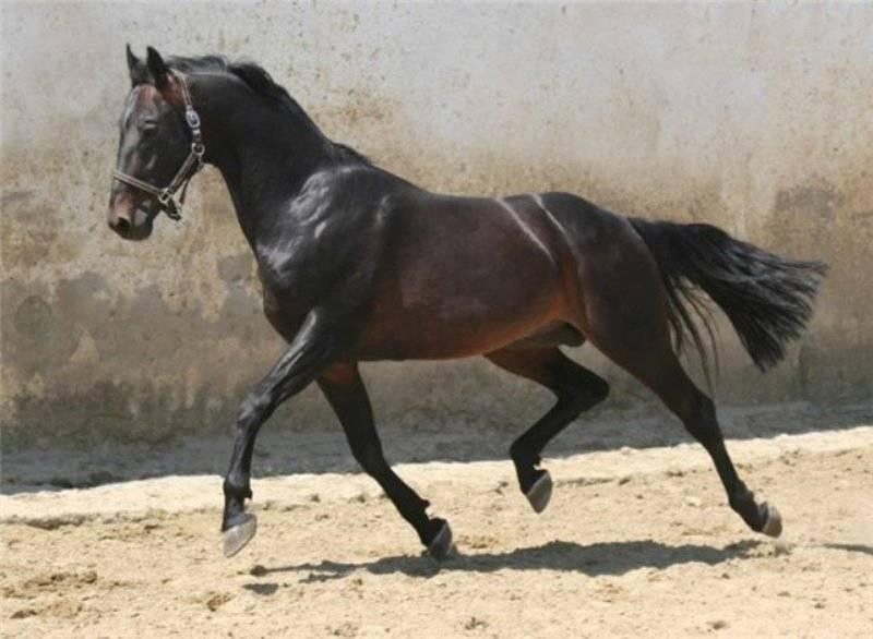 Русские породы лошадей (верховая, тяжеловоз, рысистая): список с фотографиями и названиями