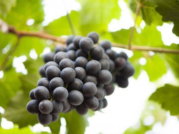 Виноград осенью: обрезка, уход