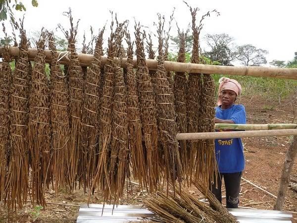 Как и где растет кунжут: можно ли вырастить сезам на дачном участке
