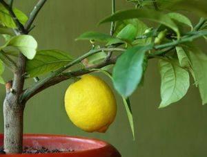 Как прививают лимон в домашних условиях чтобы он плодоносил