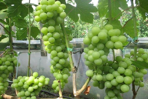 Виноград дарья дашенька дашуня описание сорта фото отзывы - скороспел
