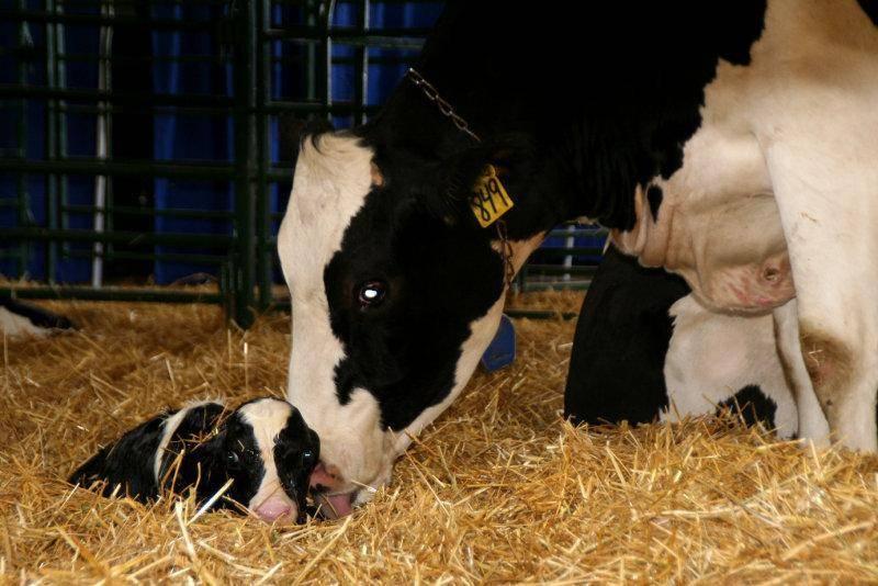 Корова не встает после отела: что делать