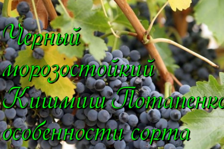 Высокий урожай при минимальном уходе обеспечит виноград шахтер