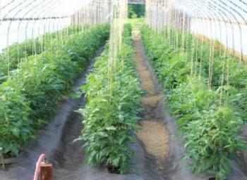 Как подвязывать помидоры в теплице, в открытом грунте
