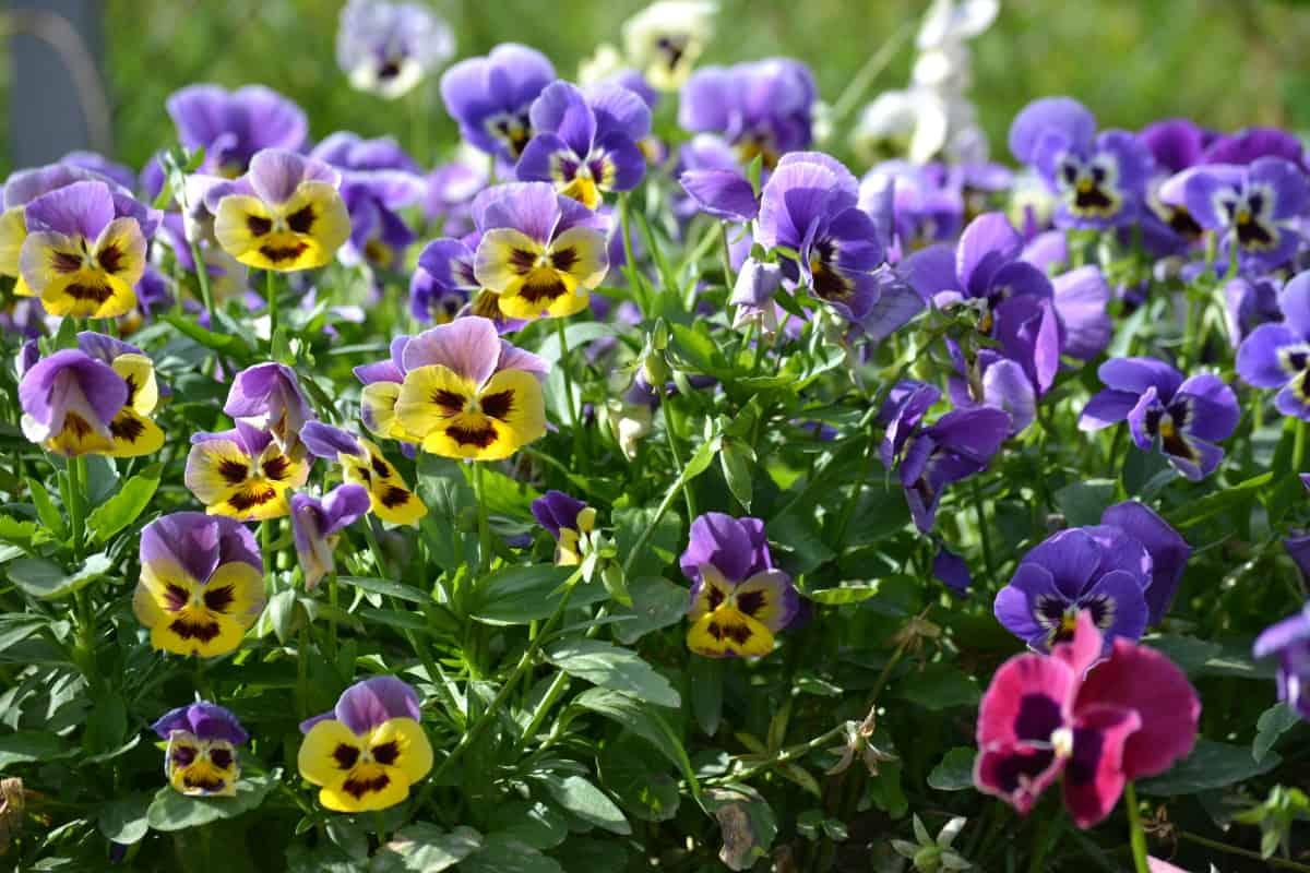 Как размножить садовые фиалки? — ботаничка.ru
