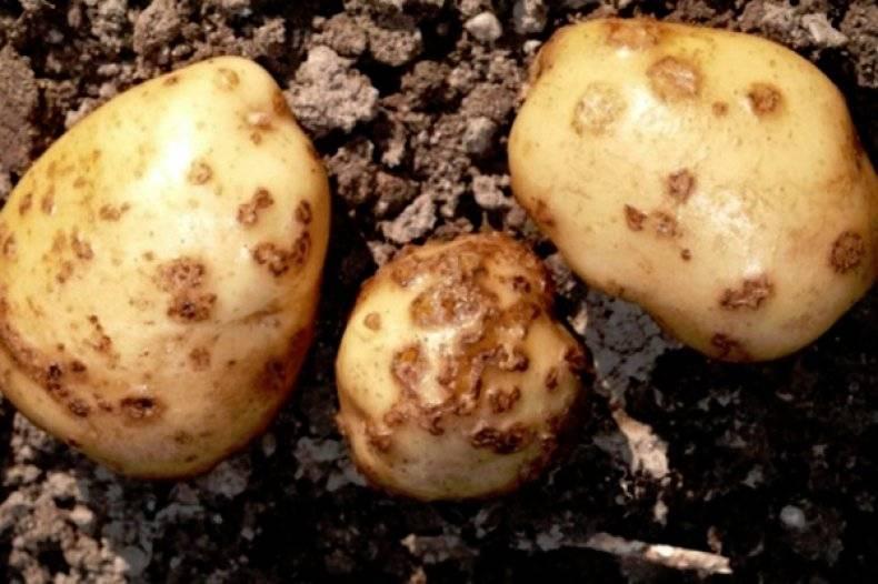 Парша на картофеле: виды, описание, фото, меры борьбы, лечение обыкновенной и всех видов парши картофеля |