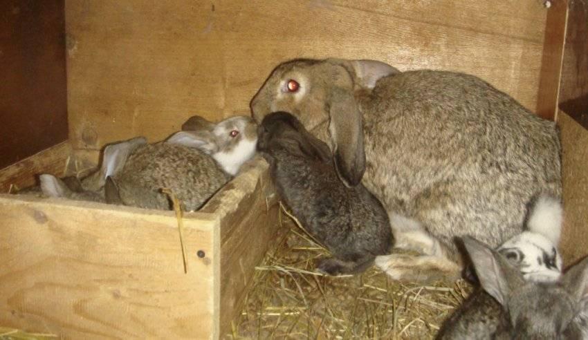 Когда отсаживать крольчат от крольчихи и чем их кормить?