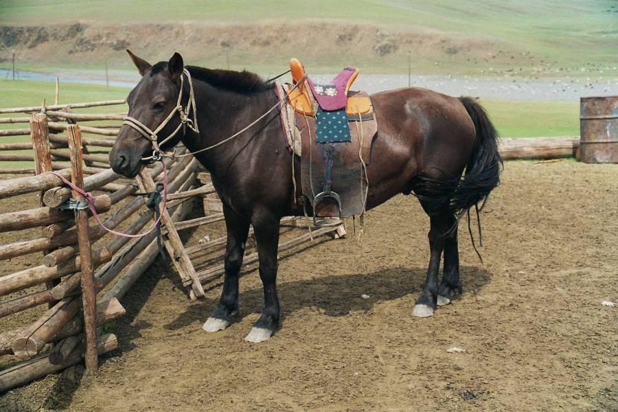 Голштинская порода лошадей: история, характеристика, фото   мои лошадки