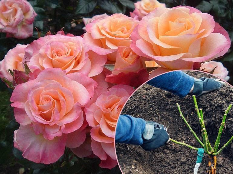 Особенности посадки роз осенью: подбор сорта, подготовка земли, схема. инструкция по посадке роз осенью для цветоводов-любителей - автор екатерина данилова - журнал женское мнение