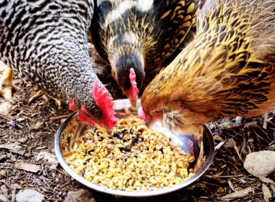 Курица снесла яйцо без скорлупы в пленке - причины и решения