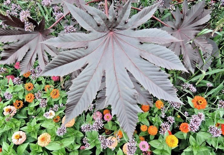 Клещевина: посадка и уход, выращивание из семян в открытом грунте, фото
