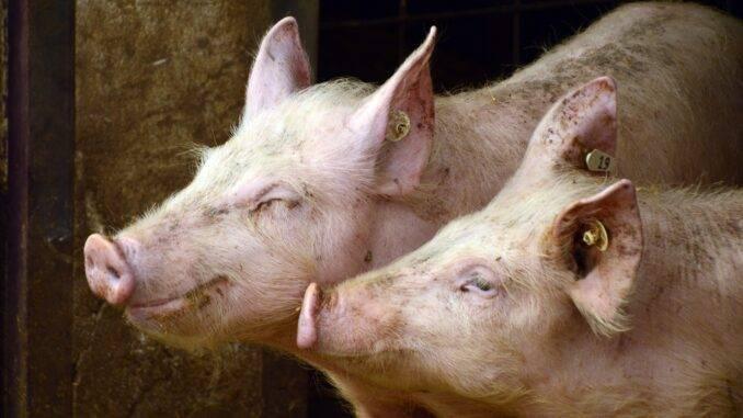 Как опалить свинью или поросенка: соломой, газовой горелкой