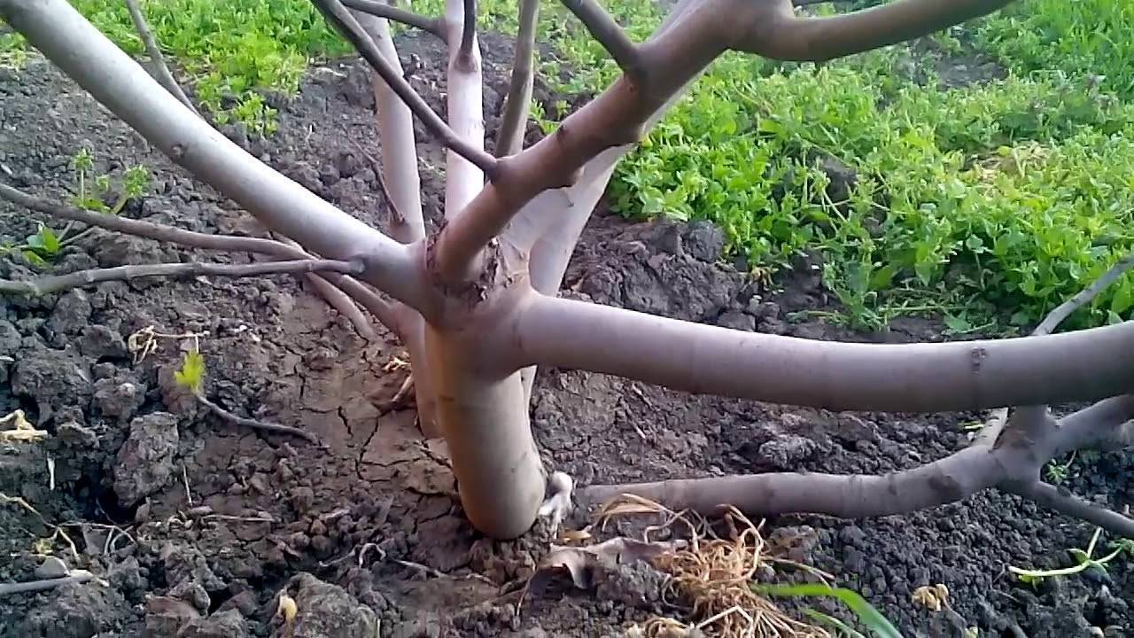 Инжир — уход осенью и подготовка к зиме: обрезка и укрытие