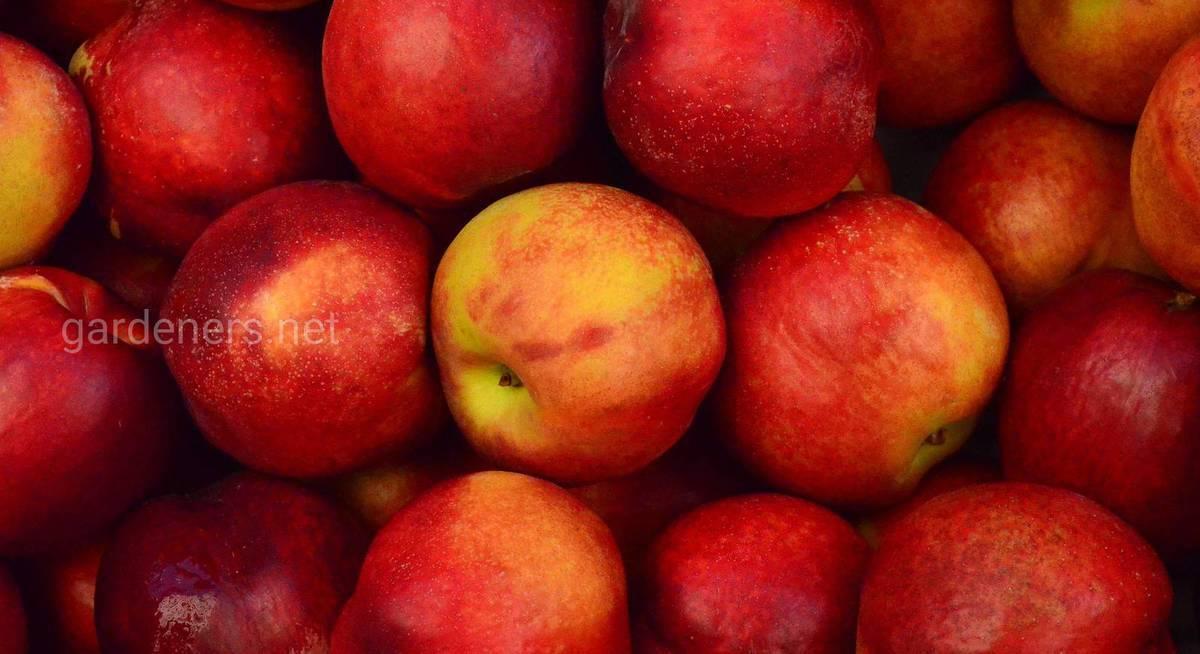 Ранние сорта яблок: фото с описанием самых раннеспелых яблонь