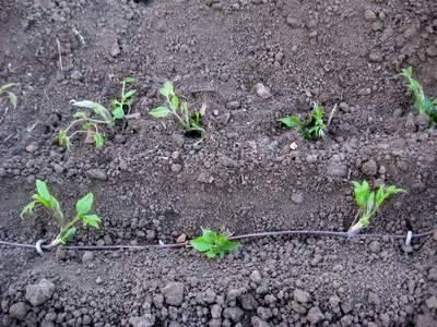 Клематис крупноцветковый : размножение черенками в различное время года | рутвет - найдёт ответ!