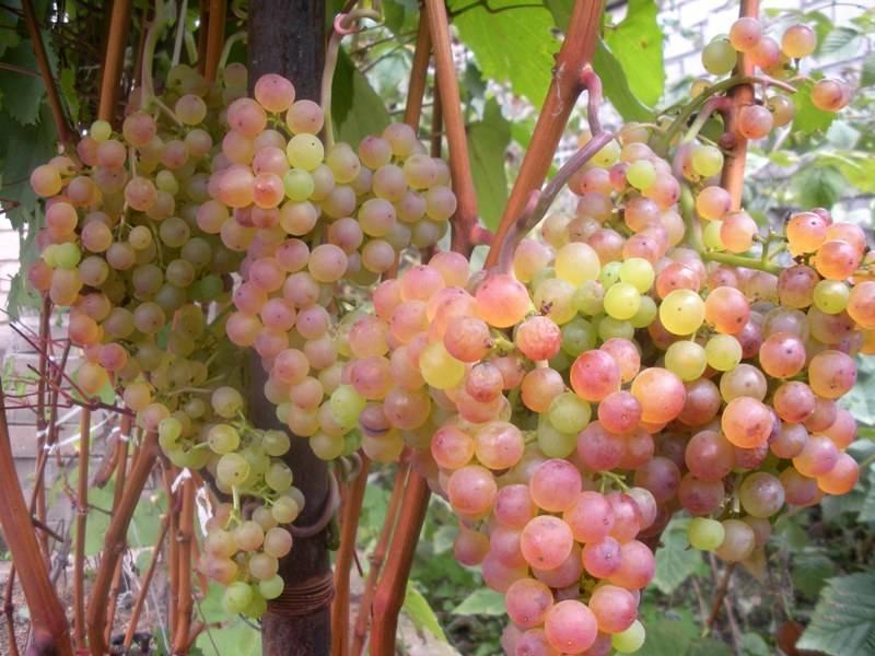 Описание и характеристики сорта винограда «юодупе»
