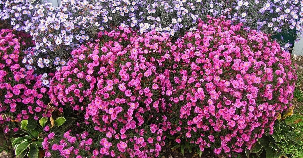 Астры: выращивание из семян в саду, виды и сорта