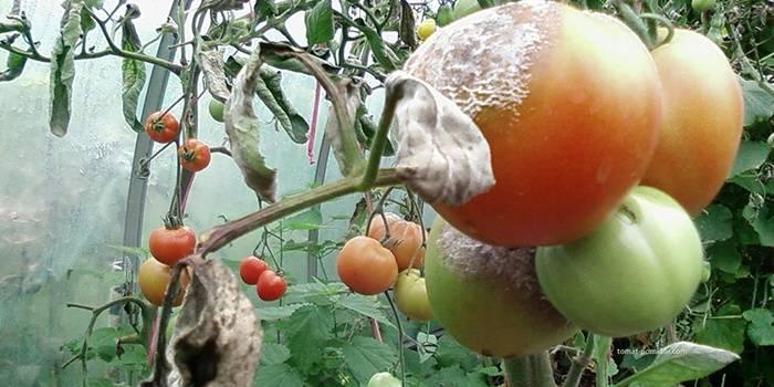 Хом для обработки помидоров: нюансы использования для томатов в теплице и открытом грунте (и во время цветения), когда можно есть плоды после опрыскивания